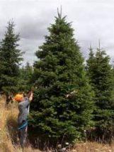 Nordmann fir ready for sale