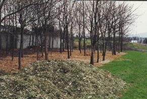 Christmas tree mulch in Dublin park