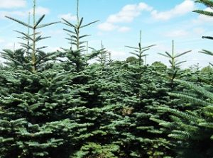 Kildare Christmas trees Noble Fir